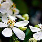 White Choisya flowers by Vicki Field