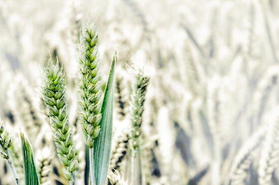 Wheat Fields by Vicki Field