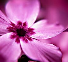 Pink Dwarf Phlox flower by Vicki Field