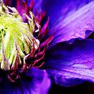 Purple Clematis flower macro by Vicki Field