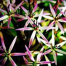 Allium Flower Macro by Vicki Field