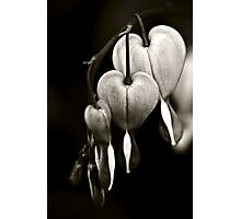 Bleeding Hearts (Dicentra) flowers in black and white Photographic Print
