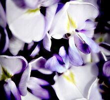 Purple wisteria flowers by Vicki Field