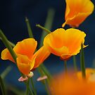 California poppies by Peter Dickinson