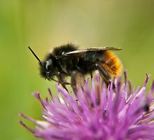 Bee on a thistle macro by Vicki Field
