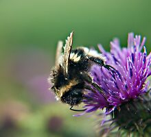 Scruffy Old Bumble Bee macro by Vicki Field