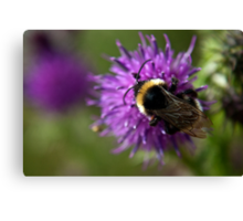 Bumble Bee on a thistle macro Canvas Print