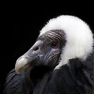 Beatriz, Queen of the Andean Condors by alan shapiro