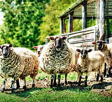Sheep on the farm by Vicki Field