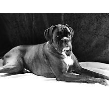 Brindle Female Boxer Portrait in Black & White  Photographic Print