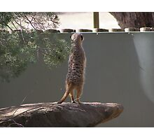 'I WISH I COULD SEE OVER THIS DARN WALL'! Meer cat,Dubbo Zoo. Photographic Print