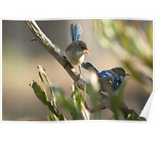 Try Dad! Blue Wren Chick and Dad Poster