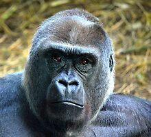 Gorilla deep in thought by sketchpoet