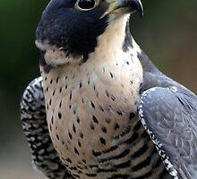 Peregrine Falcon by sketchpoet