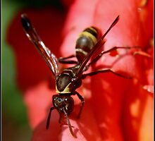 African Wasp! by Greg Parfitt