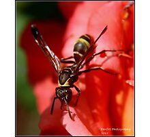 African Wasp! Photographic Print