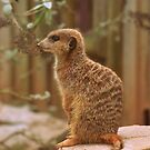 Meerkat  by minifignick