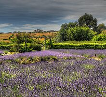 Lavender Dreams - Lavendula Farm & Gardens, Daylesford Victoria - The HDR Experience by Philip Johnson