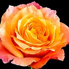 Enticing Beauty The Rose by daphsam