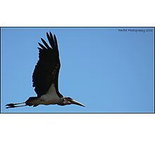 Marabou stalk in flight! Photographic Print