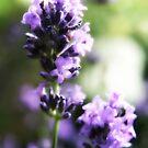Pretty lavender flowers by Vicki Field