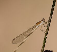 Brown Spreadwing by OmkarSankpal