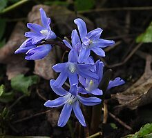 Siberian Squill flowers by Rivendell7