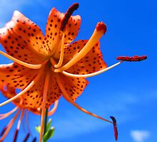 Tiger Lilly Day 2 by MonicaDay