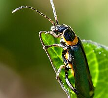 Soldier Beetle. by trevorb