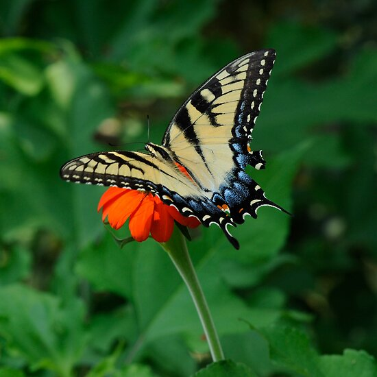 Yellow Tiger Swallowtail by Joe Jennelle