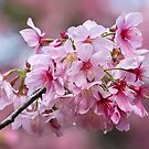 Sakura pink by Celeste Mookherjee