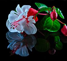 Fuchsia and Buds by Tom Newman