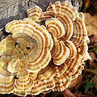 Elegant Turkey Tail by Sharon Woerner