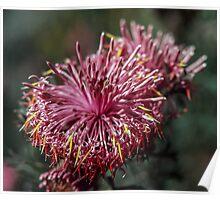 Red Isopogon flower Julimar State Forest 19820814 0034 Poster