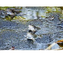 Frogs #2 Photographic Print