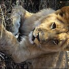 1 year old male lion by Greg Parfitt