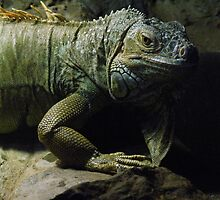 Iguana by Graham Kidd