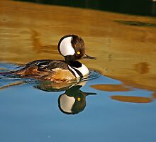 Male Hooded Merganser by Photography by TJ Baccari
