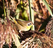 Common Yellowthroat  by Richard Labelle