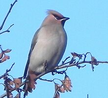 Waxwing by sarah770