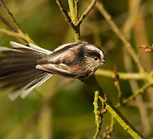 Long-tailed tit by Jon Lees