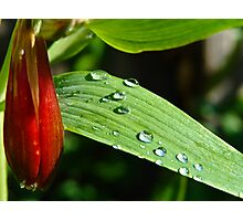 Watering the Lilies Photographic Print