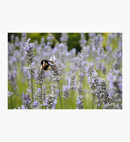 Bee In A Lavender Field Photographic Print