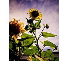 Reaching for the Sun Photographic Print