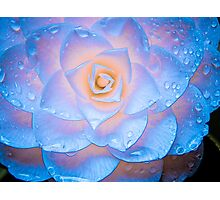 Camellia Illuminata Photographic Print