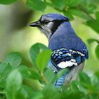 Blue Jay Framed By Leaves by Kathy Baccari