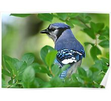 Blue Jay Framed By Leaves Poster