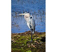 blue Herron  Photographic Print