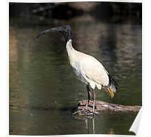 Ibis on a Rock Poster