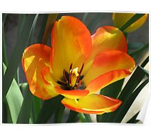 Petals of Fire - Orange and Yellow Tulip Poster